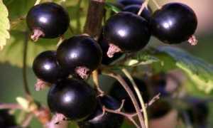 Чёрная смородина Валовая: описание, выращивание и уход + фото