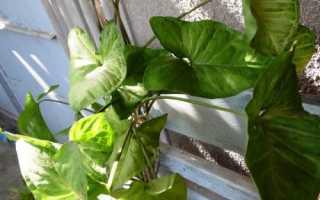 Сингониум – неприхотливая домашняя лиана. Характеристика растения