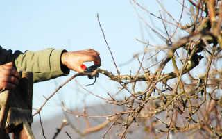 Яблоня: уход осенью, подготовка к зиме