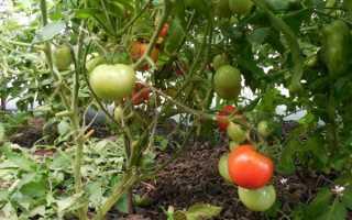 Томат Джина: описание, выращивание, уход, фото и отзывы