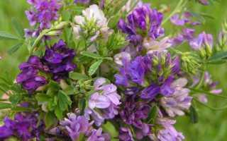 Люцерна как сидерат: полезные свойства, выращивание, когда сеять
