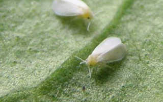 Вредители перца: причины заражения и виды вредителей