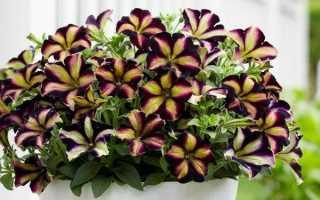 Вегетативная петуния: описание сортов, размножение, выращивание