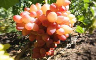 Виноград София: как вырастить сорт винограда? ТОП советы + видео