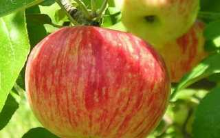 Топ-10 сортов яблок для Подмосковья