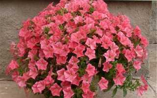 Каскадные петунии – посадка и уход за цветами