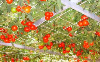 Томат Спрут – особенности и специфика сорта помидор