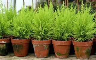 Выращивание кипариса в саду: раскрываем ВСЕ секреты по уходу!