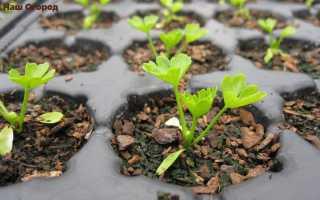 Листовой сельдерей: учимся выращивать из семян!