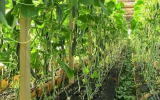 Подкормка огурцов дрожжами: повышение урожая. Рецепты, отзывы