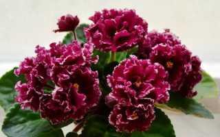 Фиалка Маджента: описание сорта, выращивание и уход + фото