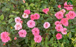 Миниатюрные розы: выбираем лучший сорт + описание и фото!