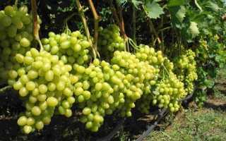Лучшие сорта винограда для различных регионов России