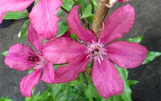 Клематис Барбара: описание, разновидности, выращивание и фото