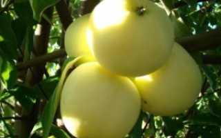 Яблоня Черное дерево: описание и характеристика сорта + фото