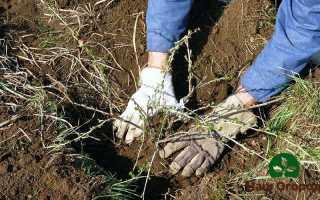Выращивание крыжовника: ценные советы и рекомендации