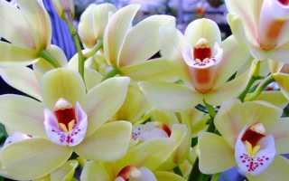 Как долго цветет орхидея? 19 фото Как часто цветет и с чего начинается? Уход за орхидеями во время цветения