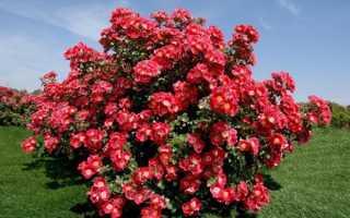 Виды роз: подробное описание основных видов роз