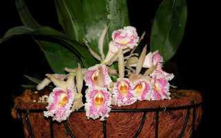 Трихопилия: уход, выращивание, фото орхидеи маргината