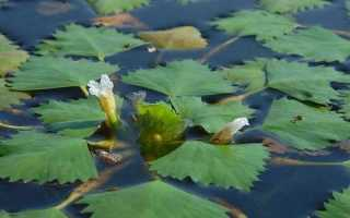 Водяной орех (Чилим): описание, посадка, применение + фото