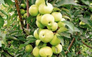 Малюха – сорт колоновидной яблони. Описание разновидности