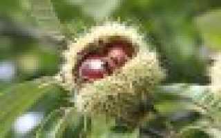 Конский каштан: описание, особенности выращивания