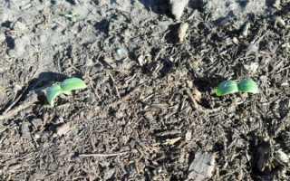 Посадка огурцов в грунт семенами весной