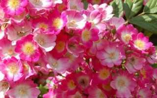 Мускус розы: описание, сорта, посадка и уход, фотографии