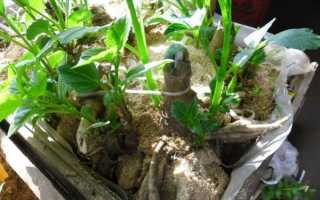 Георгины: прорастание клубней после зимы