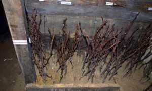 Как сохранить чубуки винограда до весны
