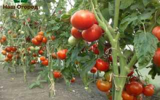 Подвязка помидоров: лучшие советы по правильному подвязыванию