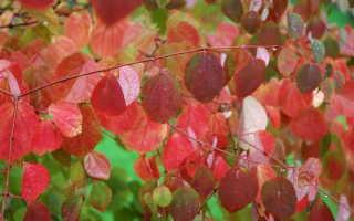 Багряник японский: описание сорта, размножение и уход + фото
