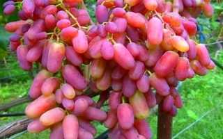 Виноград Юлиан: ТОП советов по выращиванию сорта Юлиан + фото