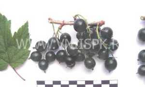 Чёрная смородина Журавушка: описание и особенности сорта