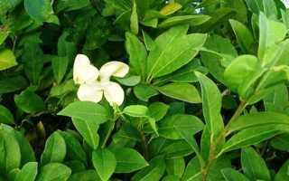 Брунфельсия: описание растения, посадка и уход + фото