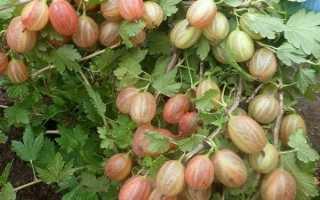 Сорта крыжовника устойчивые к мучнистой росе – подробное описание
