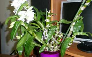 Дендробиум цветет, что делать дальше