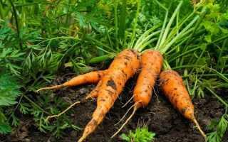 Подкормка моркови открытом грунте борной кислотой и марганцовкой