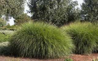 Декоративные травы на участке + фото