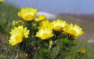 Адонис весенний и как правильно за ним ухаживать