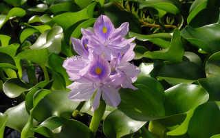 Водный гиацинт – изящное растение или агрессор?
