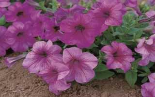 Петуния Игл – описание, разновидности, секреты выращивания с фото