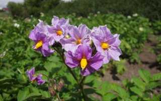 Колетте картофель: характеристика фото + посадка и сбор урожая