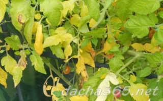 Почему у помидоров желтеют и сохнут листья: что делать, причины, способы решения