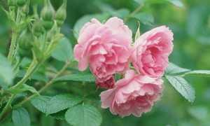 Морщинистая роза – всё о сортах, уход и выращивание