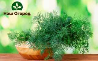 Выращивание укропа: советы по посадке и уходу + польза пряности