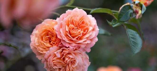 Роза Шраб: описание сорта, всех его разновидностей. Посадка, уход