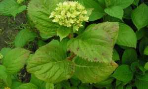 Болезни гортензии: грибковые, вирусные, насекомые-вредители