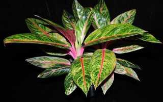 Аглаонема – как заботиться о растении и вернуть декоративность