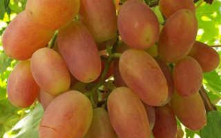 Виноград Сенсация: ТОП советов по выращиванию + фото и видео